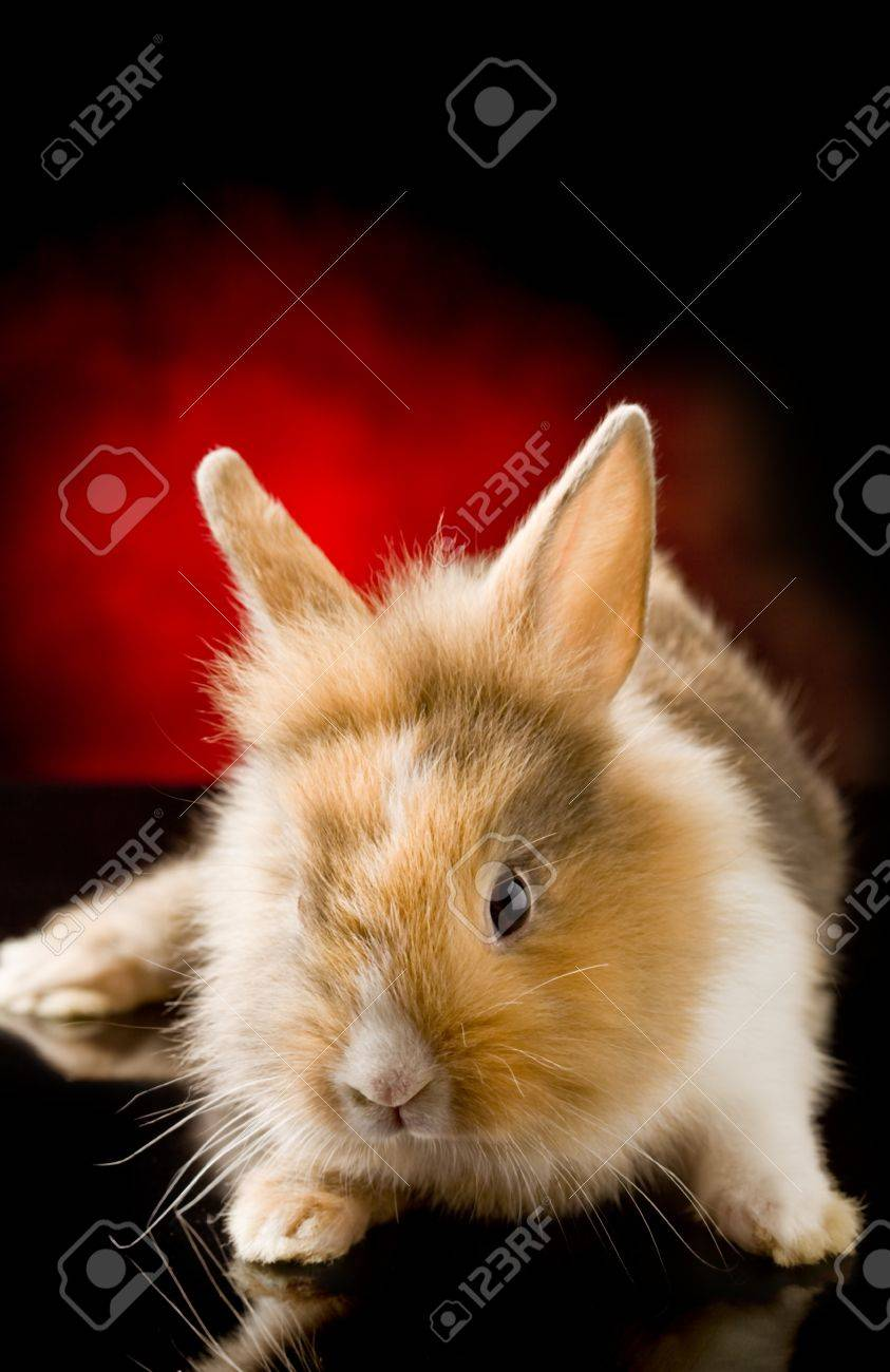 photo of adorable dwarf rabbit with lion's head on black glass table Stock Photo - 9852569