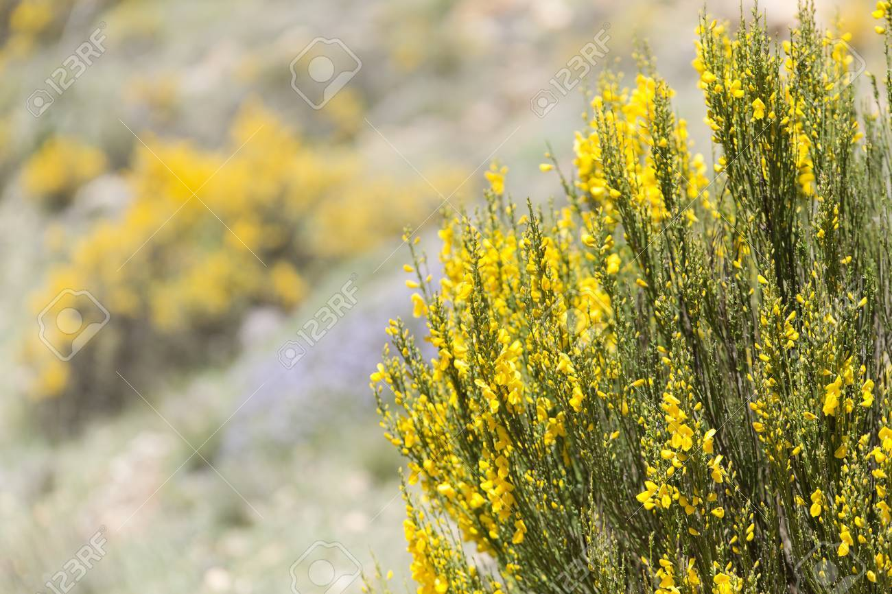 Fiori Gialli Yellow Flowers.Hiniesta In Spring With Its Yellow Flowers Scientific Name Is