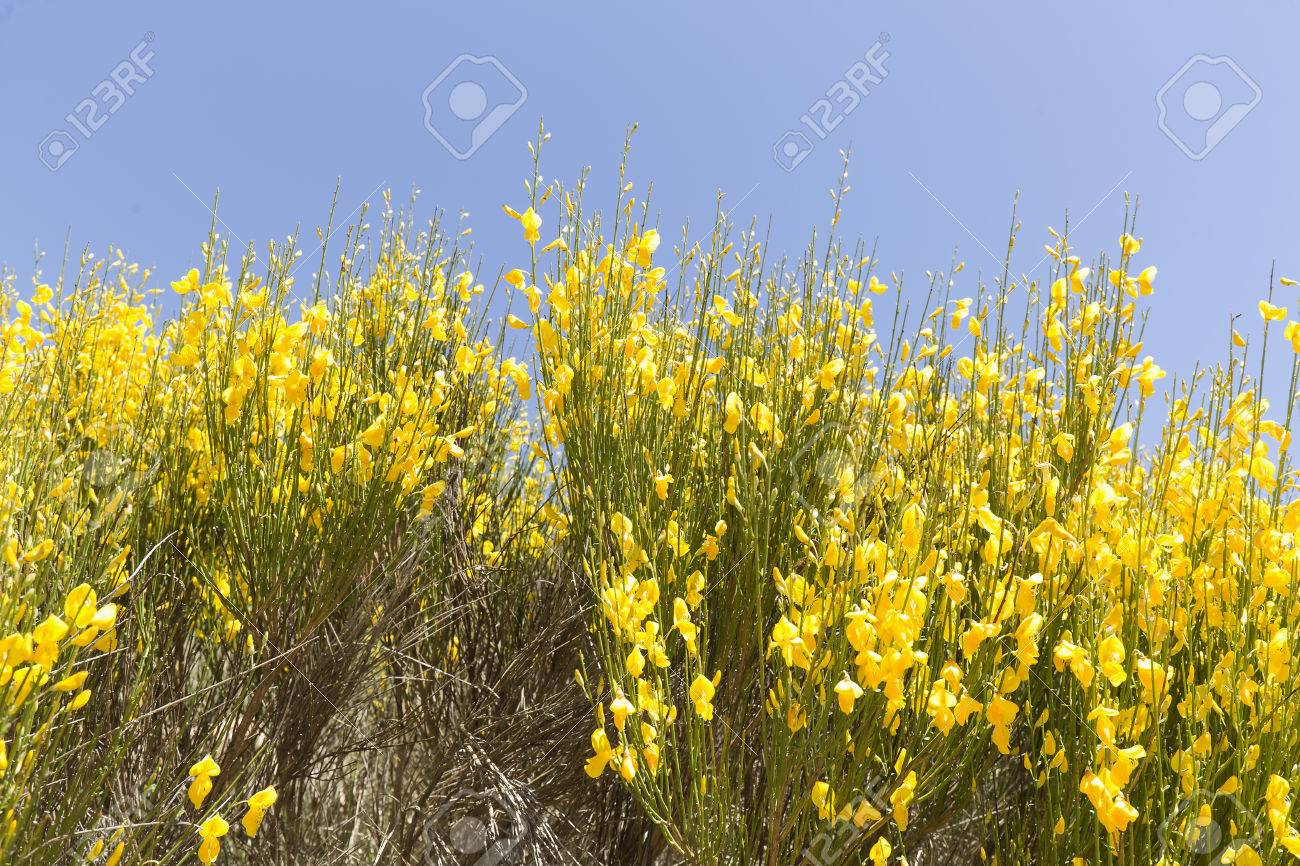 Hiniesta in spring with its yellow flowers scientific name is hiniesta in spring with its yellow flowers scientific name is genista cinerea photo taken mightylinksfo Image collections