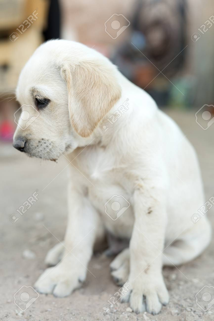 Portrait of small golden retriever puppy with natural light