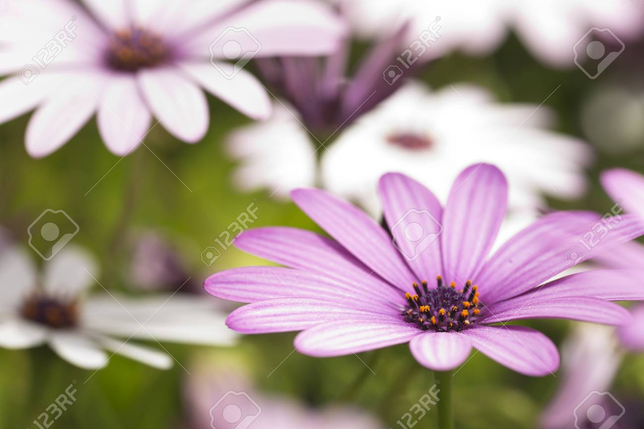 Macrophotography Of Osteospermum Flowers In Spring Taken In Stock