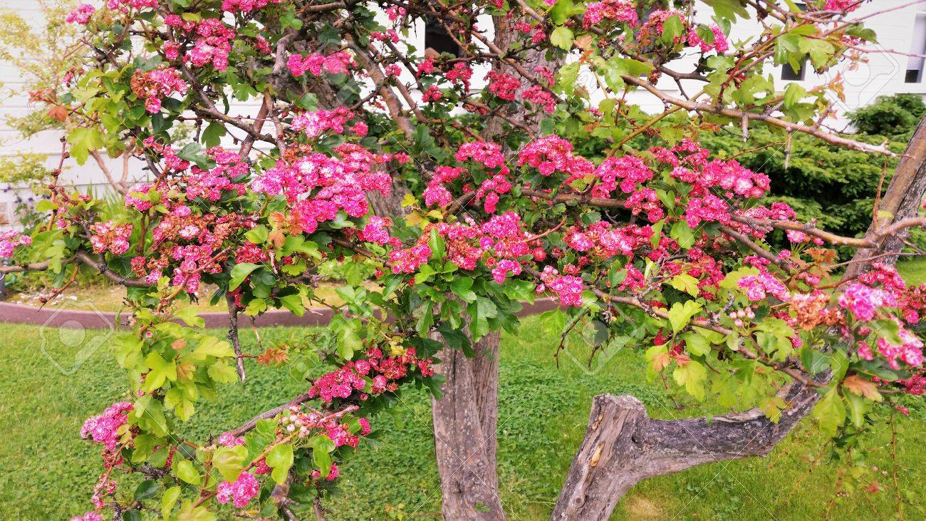 Flowering Tree With Pink Blossoms Stock Photo Picture And Royalty
