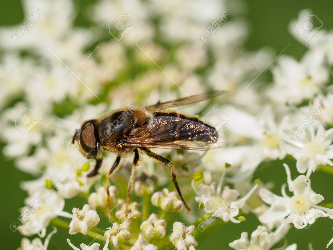 Extreme closeup of a fly on wild white flowers stock photo picture extreme closeup of a fly on wild white flowers stock photo 43948637 mightylinksfo
