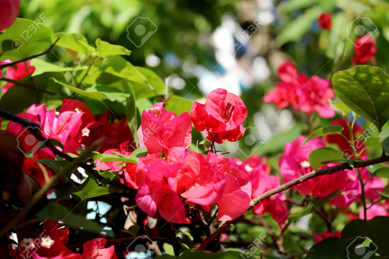 Fiori Fucsia.Fiori Fucsia Stock Photo Picture And Royalty Free Image Image