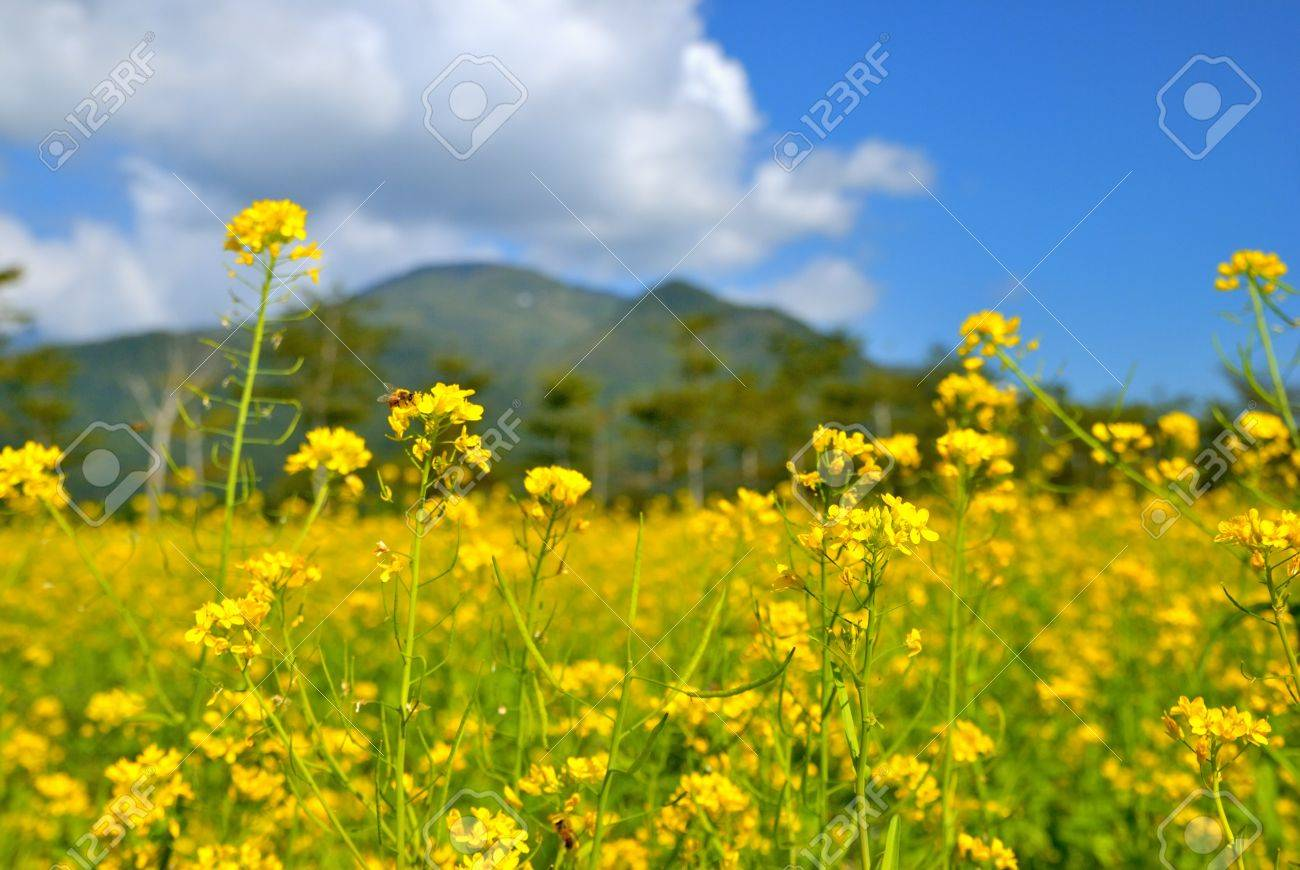 Yellow Rape Flowers As One Kinds Of Economic Crops In Ruisui Stock