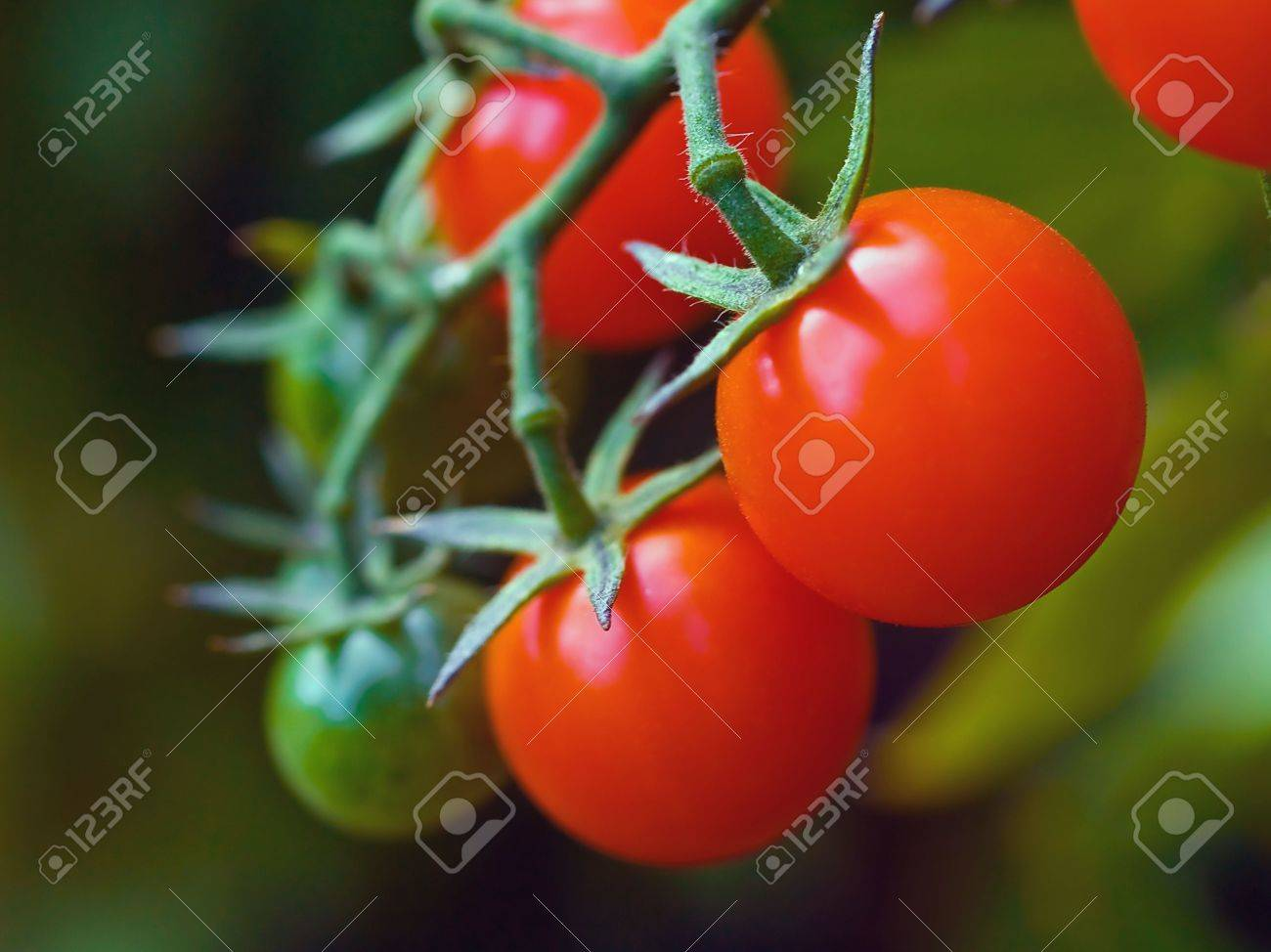 Red, ripe tomatoes still on the vine awaiting to be harvested. Stock Photo - 4915458