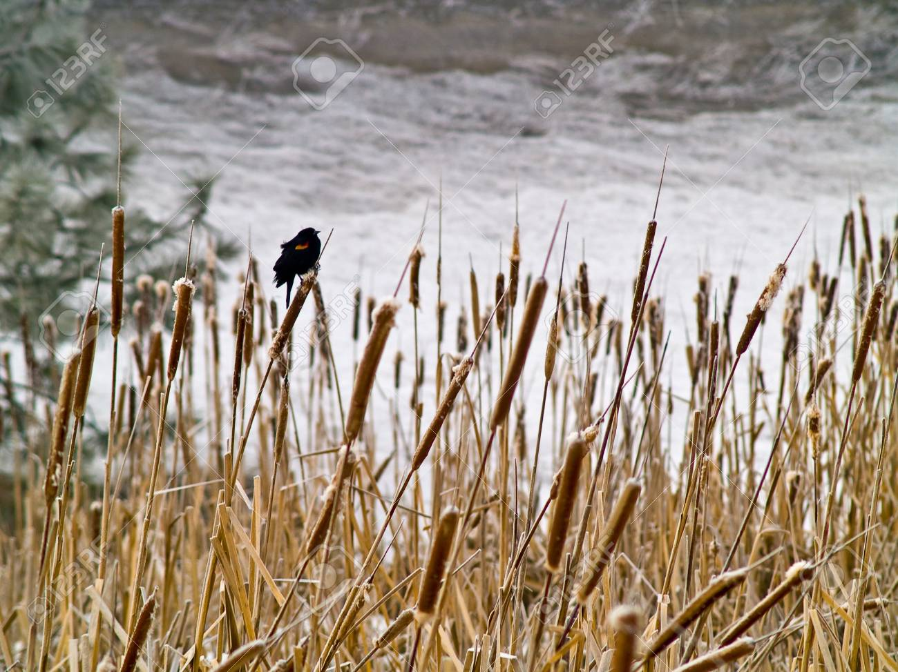 Red Winged Blackbird in a Frozen Marsh Area on an Overcast Day Stock Photo - 8275007