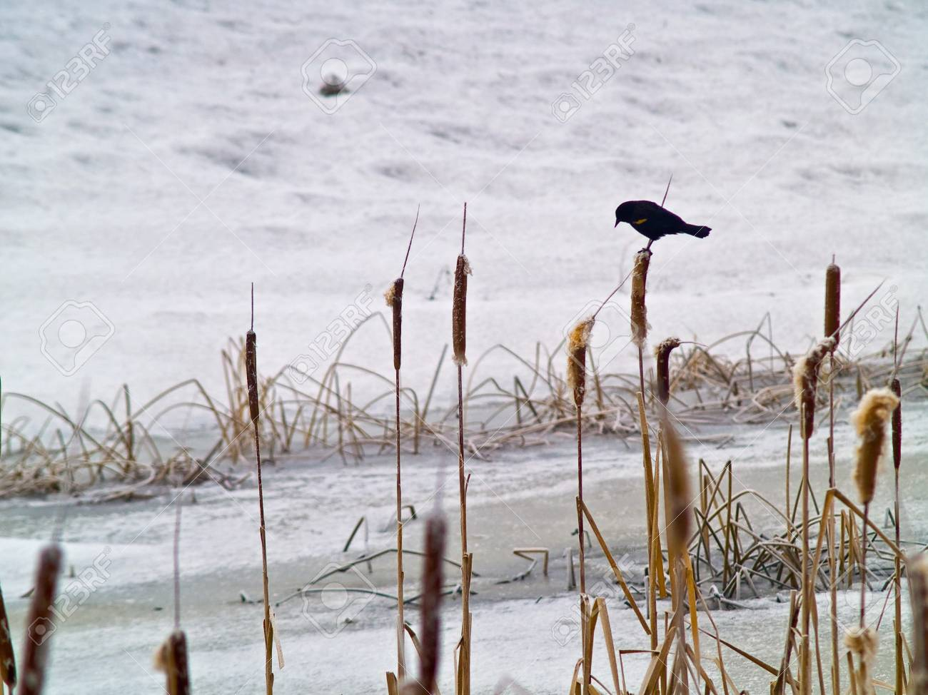 Red Winged Blackbird in a Frozen Marsh Area on an Overcast Day Stock Photo - 8274950