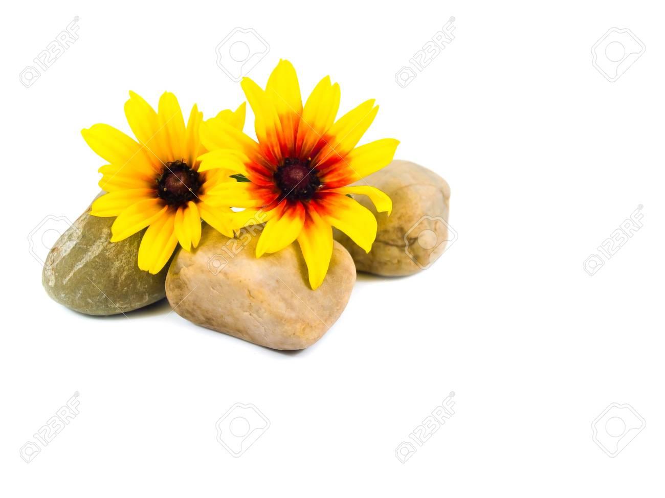 Yellow Daisies on Gray Stones Isolated on White Stock Photo - 8463782