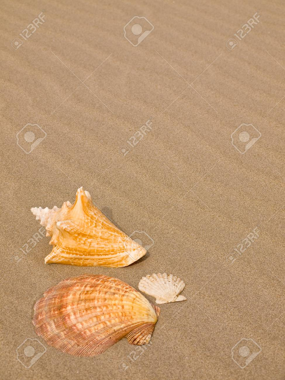Scallop and Conch Shells on a Wind Swept Sandy Beach Stock Photo - 8556783