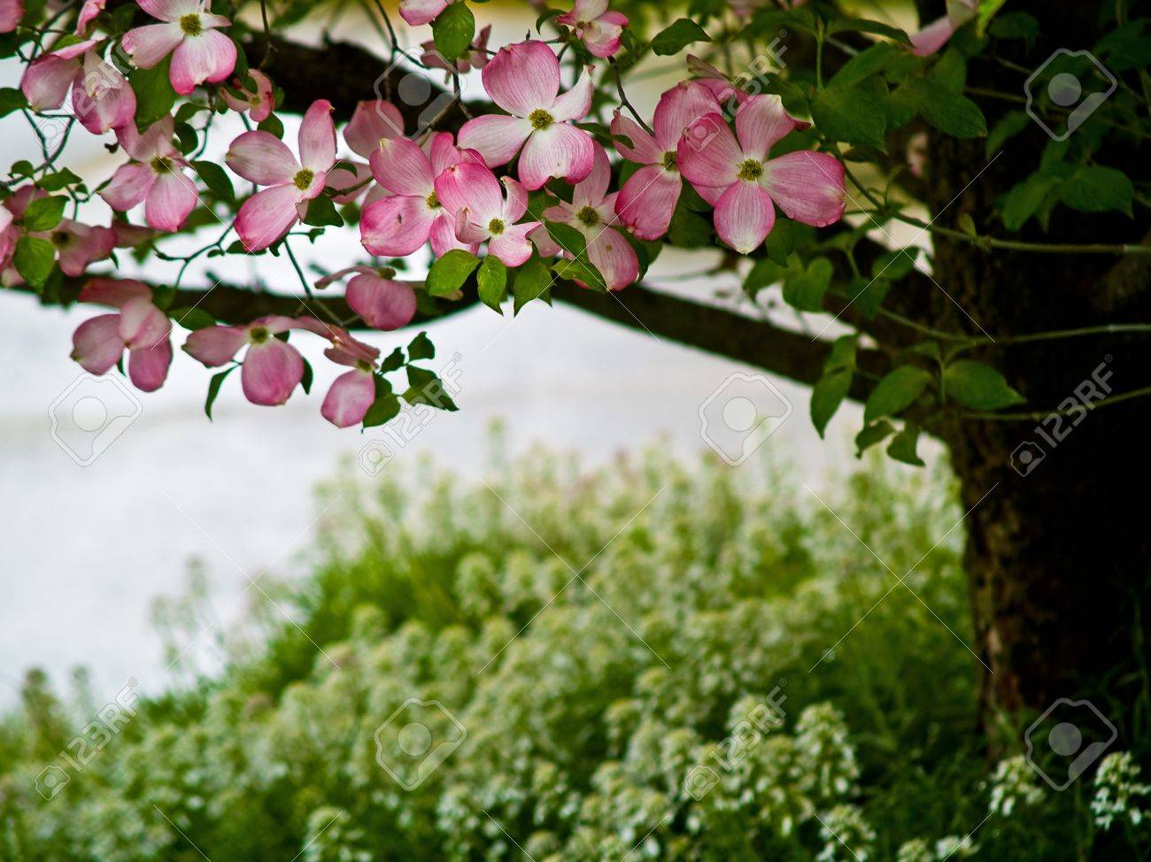 Pink Dogwood Tree Blooms At The Height Of Springtime Stock Photo