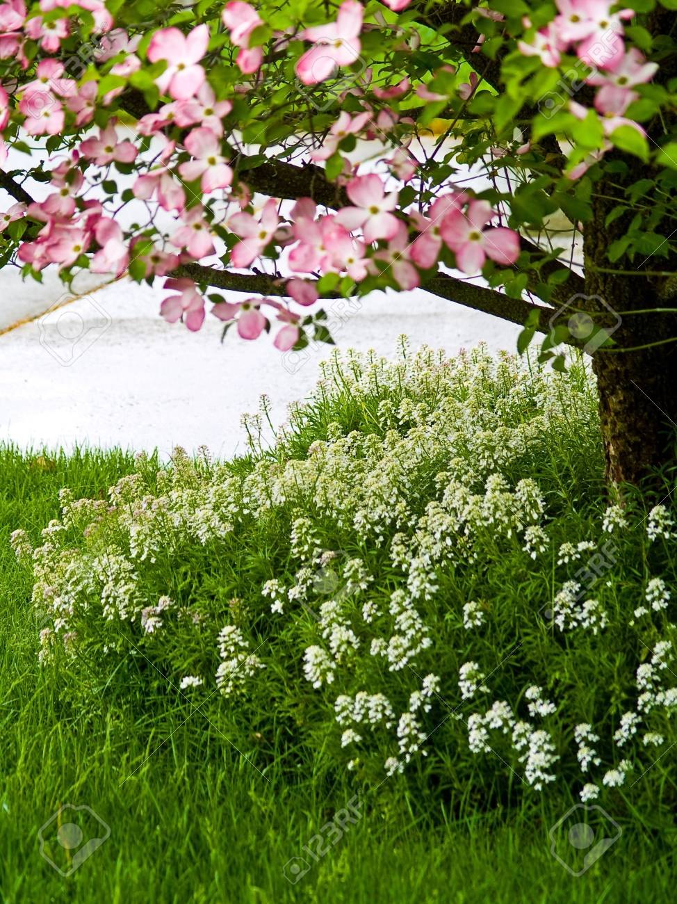 Pink dogwood tree blooms at the height of springtime stock photo pink dogwood tree blooms at the height of springtime stock photo 8784460 mightylinksfo