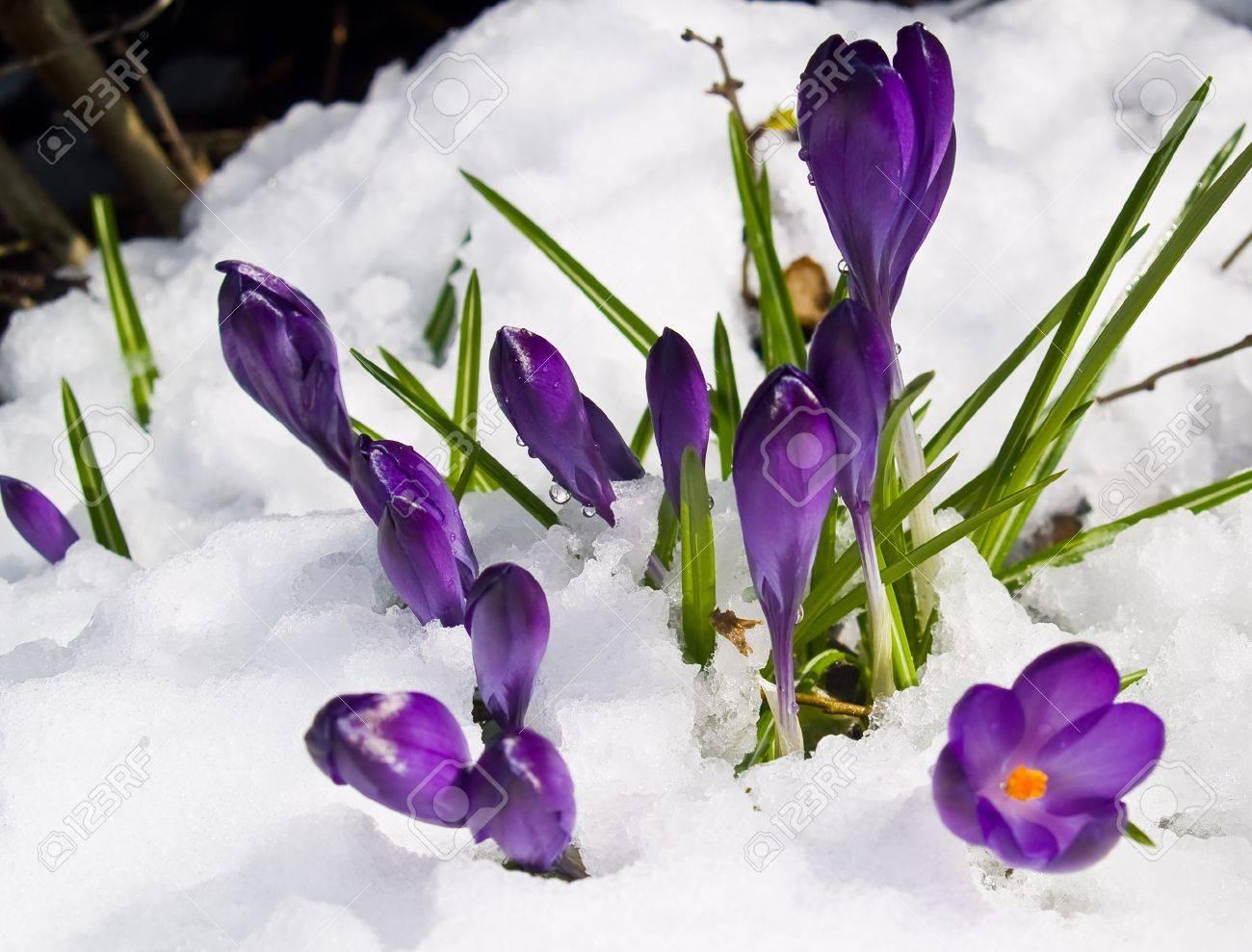 Purple Crocuses Poking Through the Snow in Springtime Stock Photo - 8913124