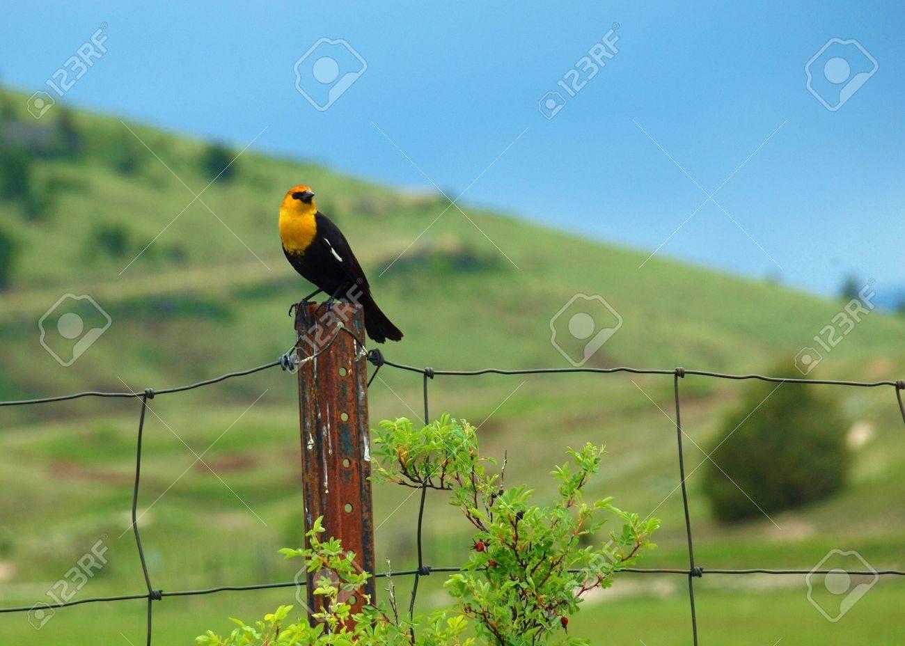 Yellow Headed Blackbird Range Yellow Headed Blackbird in the