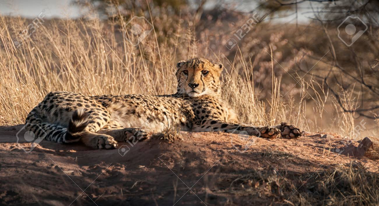 Cheetah Relaxing In The Sun In The Long Grass Of South Africa