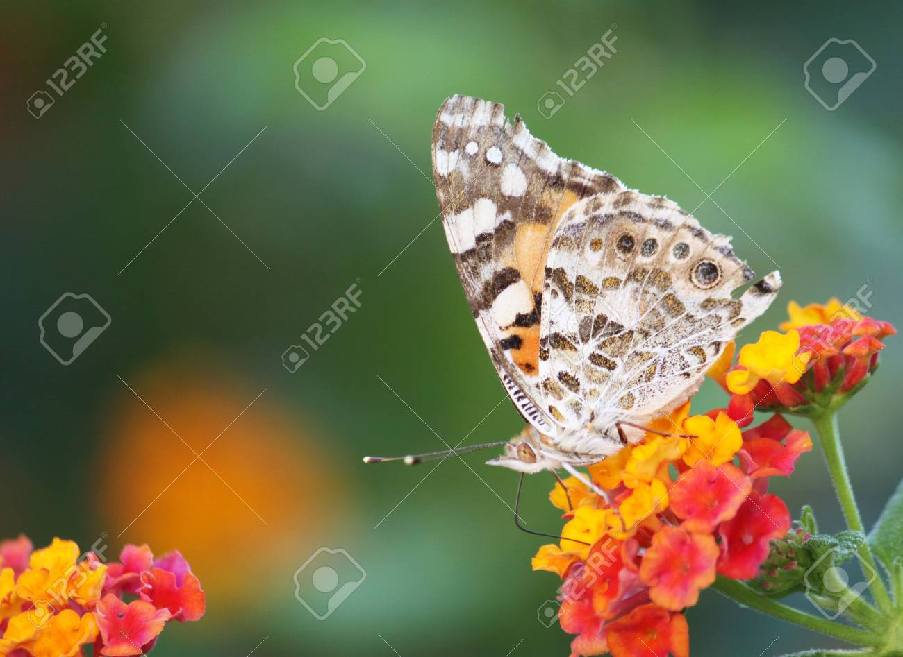 a beautiful brown butterfly feeding on a lantana plant Stock Photo - 5414536