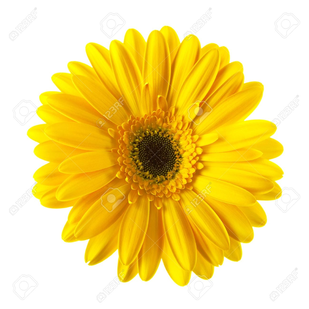 Yellow Daisy Flower Isolated On White Background Stock Photo