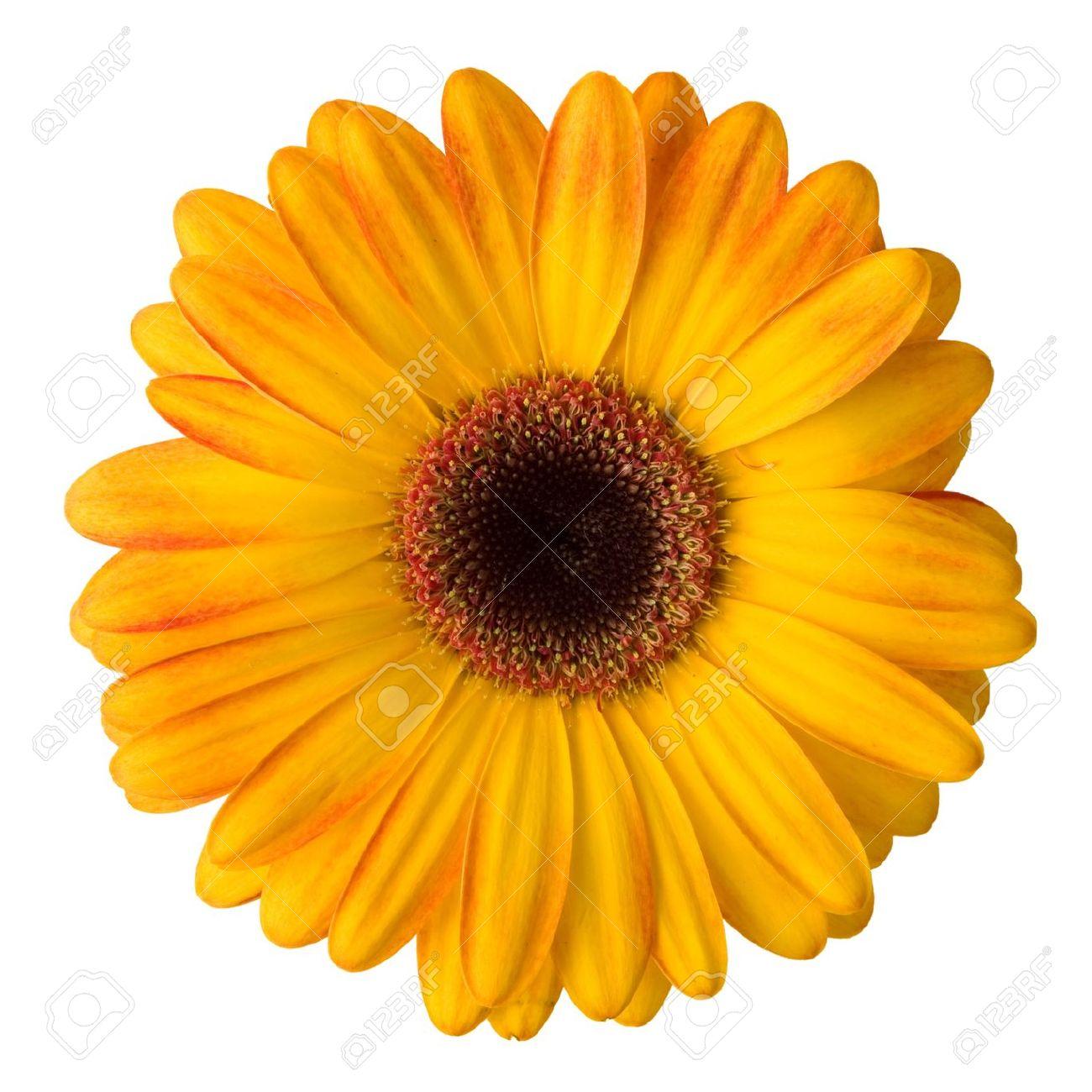 Jaune De Fleur De Marguerite Isole Sur Fond Blanc Banque D Images Et