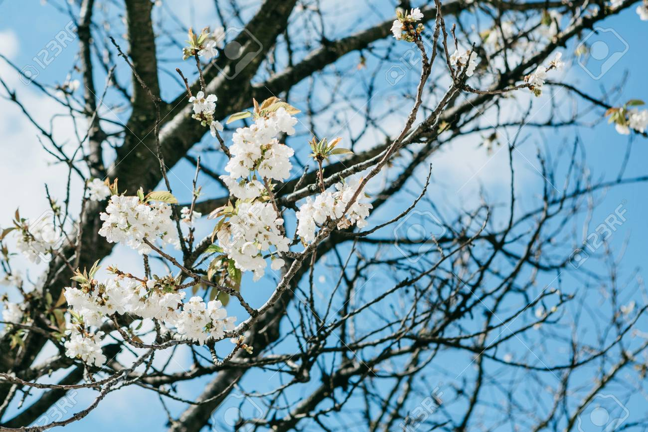 Branch Of A Tree With White Flowers Against The Blue Sky Flowering
