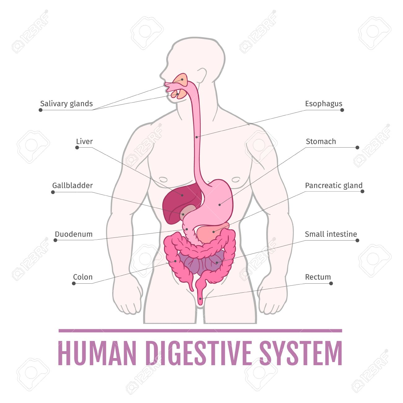 Medizinische Darstellung Des Menschlichen Verdauungssystems. Schema ...