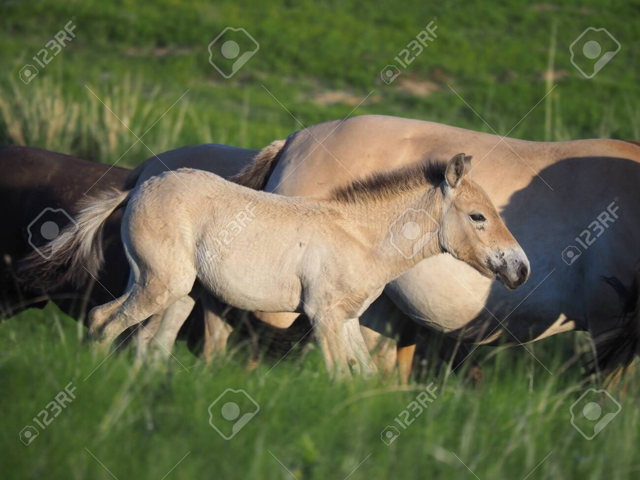 Takhi Horse Or The Przewalski Horse Are Wild Horses In Mongolia Stock Photo Picture And Royalty Free Image Image 149012222
