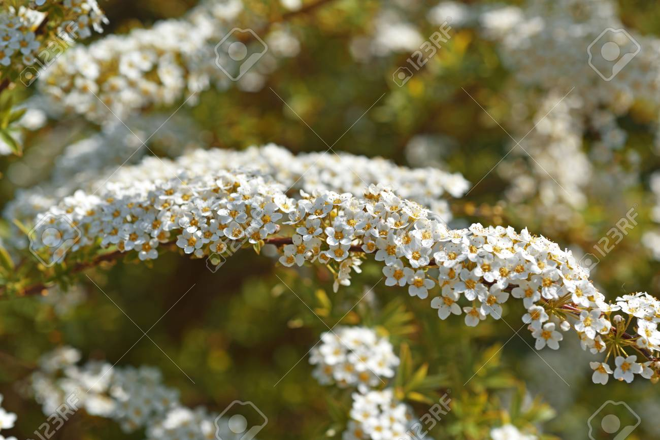 Small White Flowers On Bush Spring Abstract Photo Stock Photo