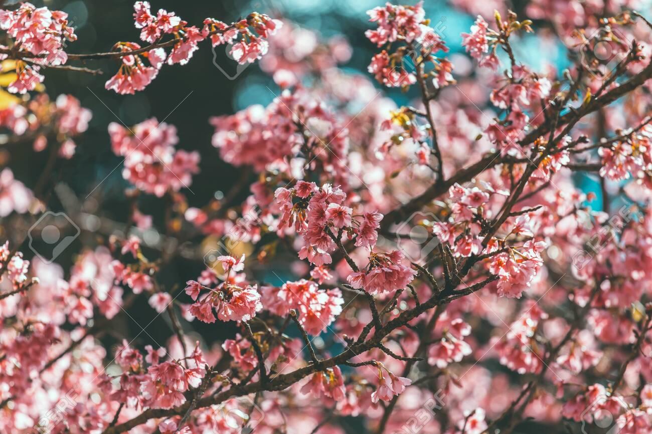 Cherry Blossom And Sakura Wallpaper