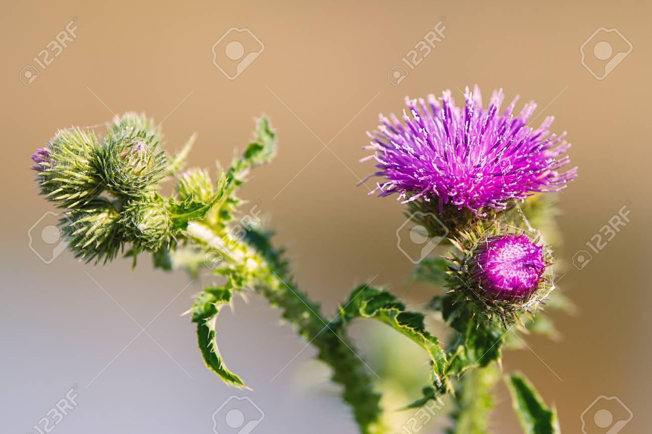 Purple Thistle Flower Background Royalty Vrije Foto Plaatjes