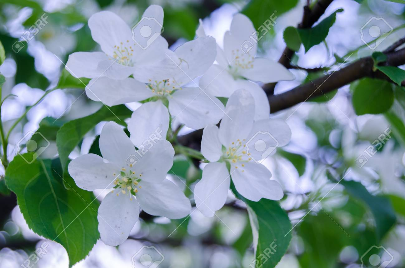 Fiori Bianchi Marzo.White Flowers Of A Blossoming Apple Tree In March Stock Photo