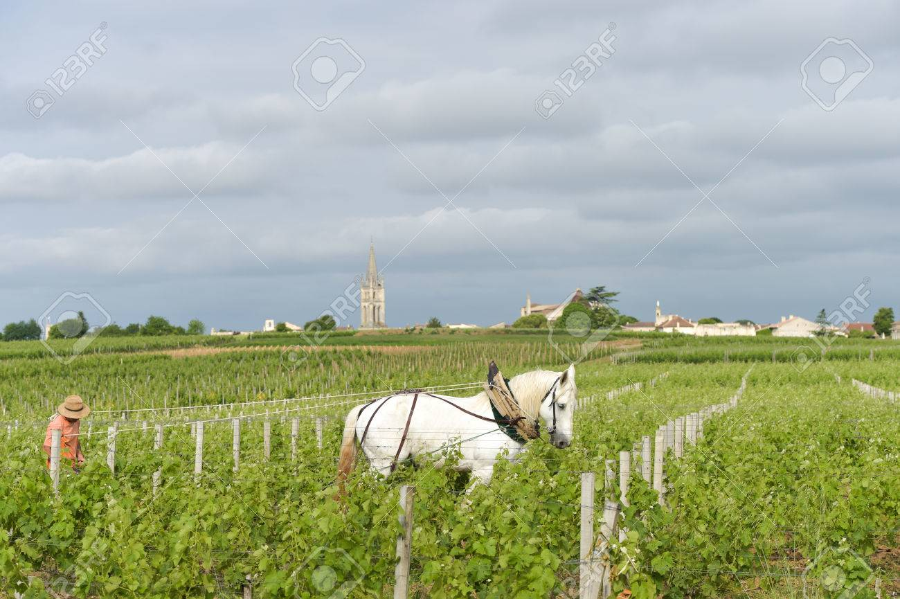 Labour Vineyard with a draft white horse-Saint-Emilion-France Stock Photo - 43621555