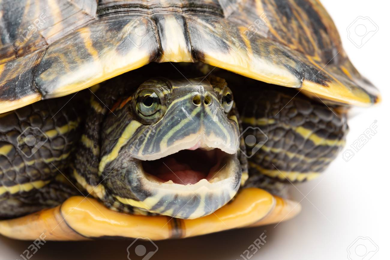 Side View Pet Turtle Red Eared Slider Or Trachemys Scripta Elegans Stock Photo Picture And Royalty Free Image Image 111754098