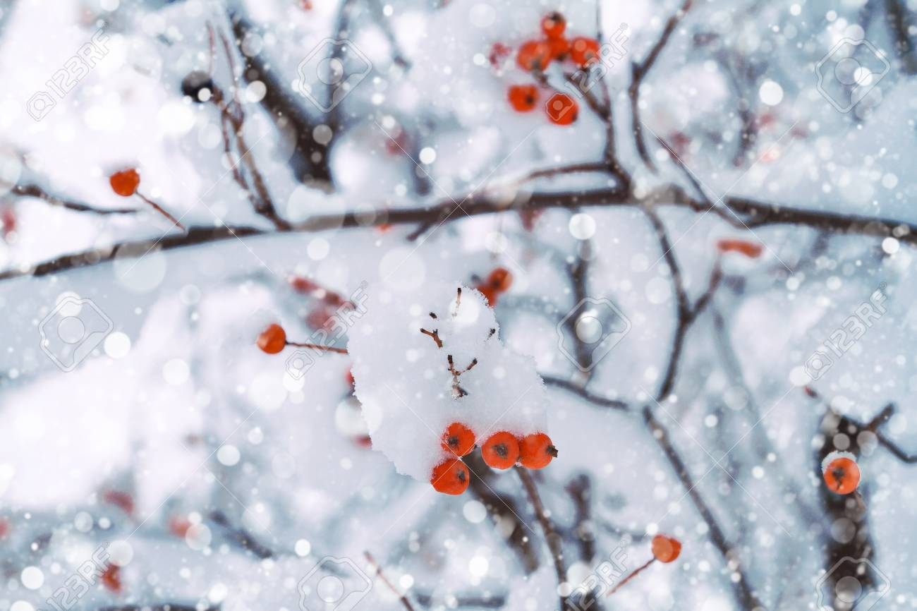 Winter Background Of Snowy Tree Branches With Red Berries Winter