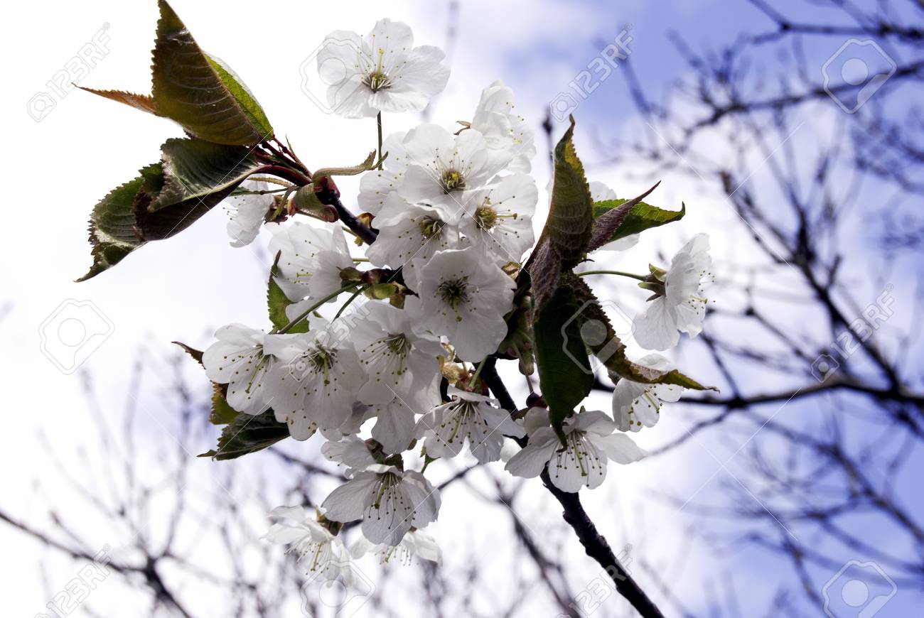 Branches with white cherry blossoms and a blue sky in spring Stock Photo - 9478094