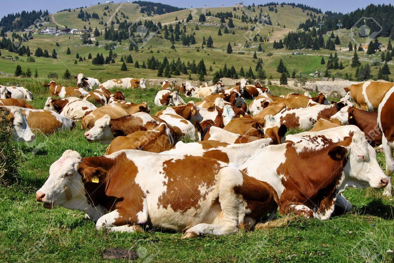 Brown white cows on a farmland Stock Photo - 10511737