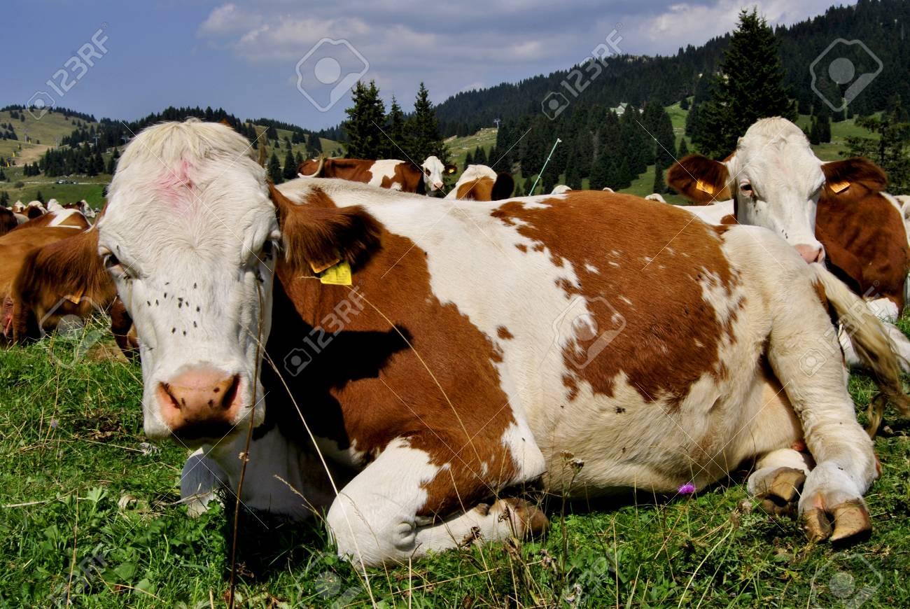 Brown white cows on a farmland Stock Photo - 11160599