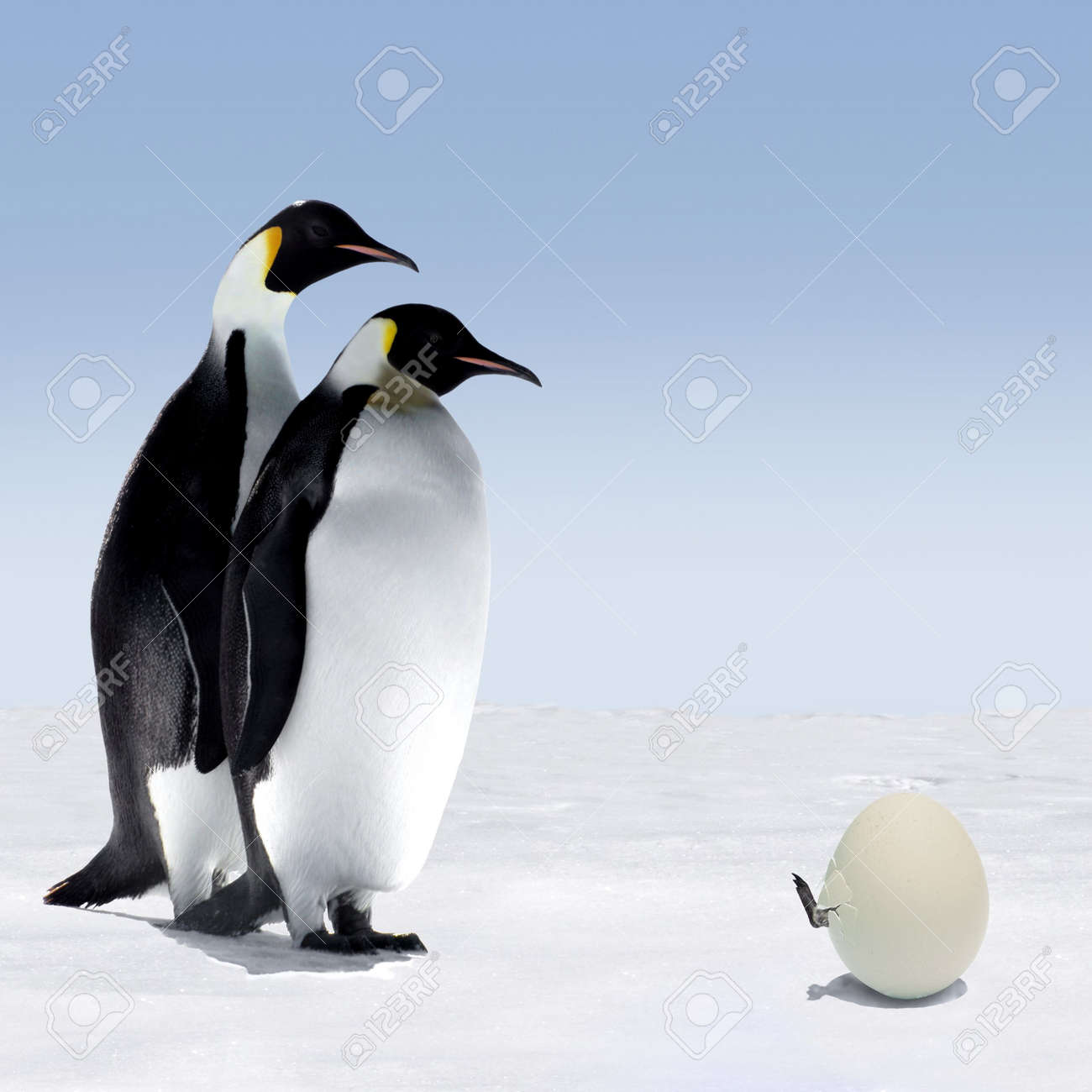 penguin mother and father are watching a penguin getting out