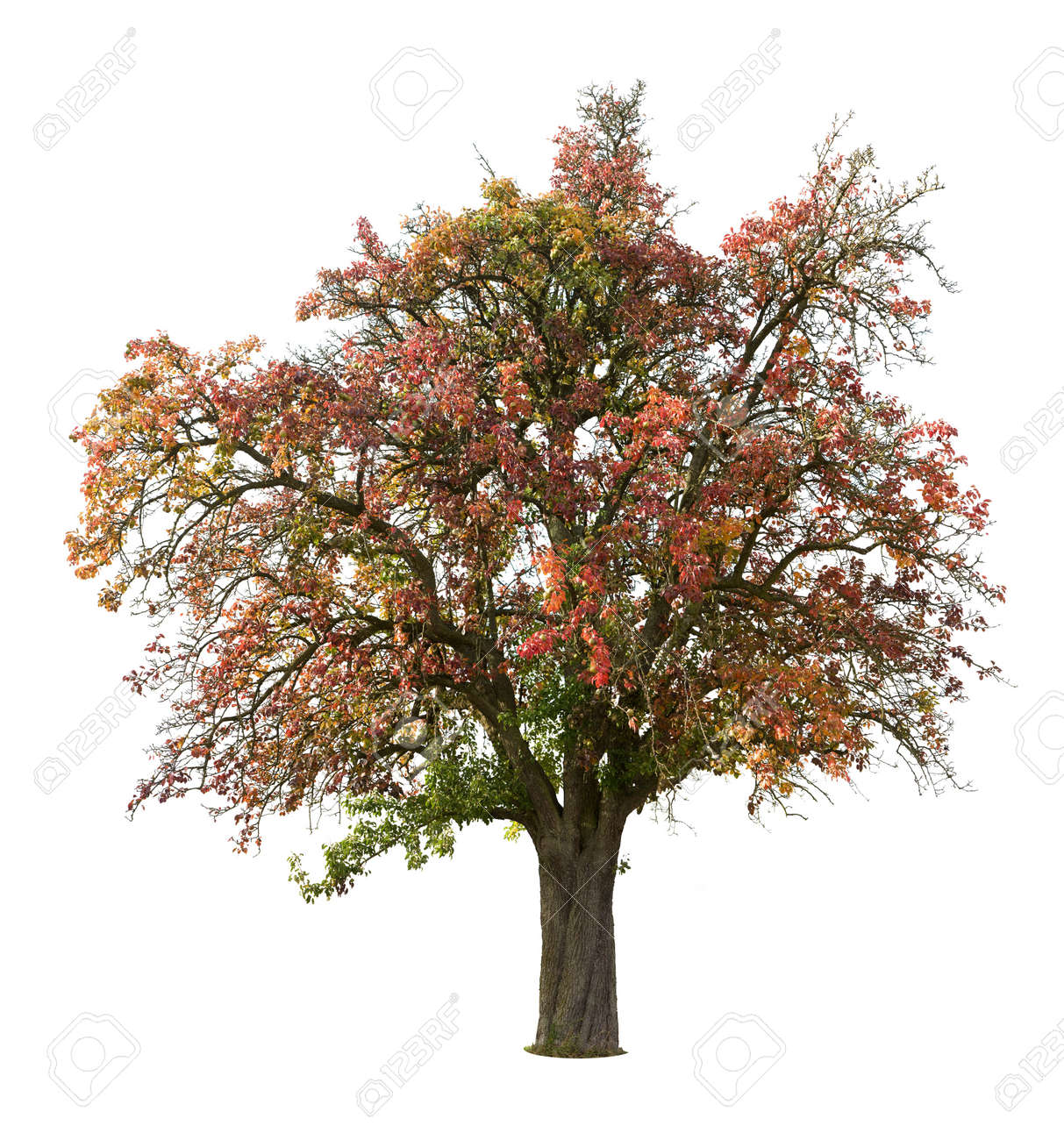 Apple tree isolated on white in autumn Stock Photo - 3810857