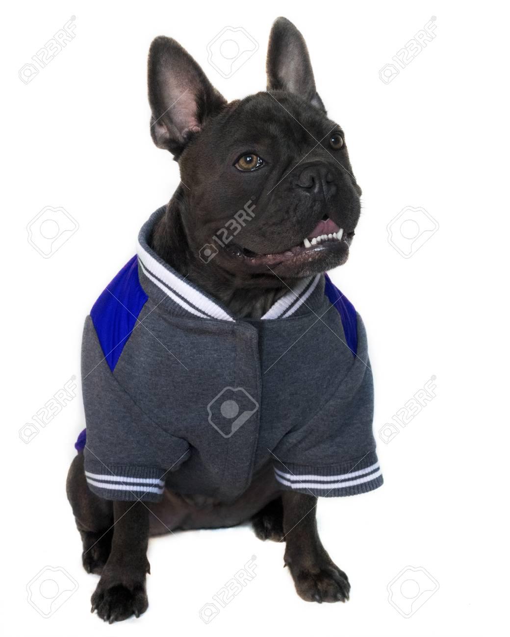 Verbazingwekkend Mascot Type Portrait, Full Body Of A Blue French Bulldog Dressed WU-76