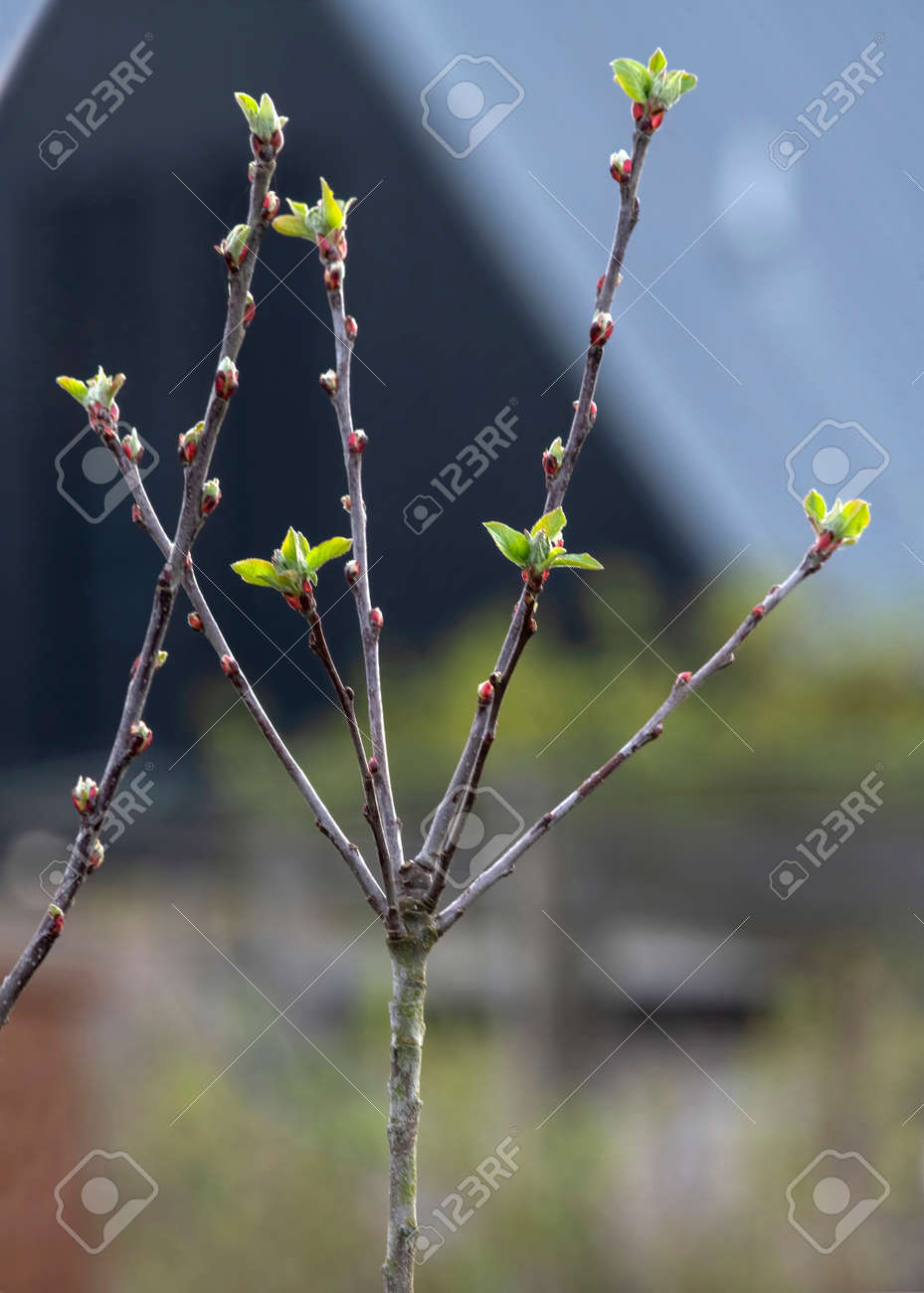 Selective focus on a close up of apple tree coming into budding spring time with new growth blurrled background for copy space - 166924913