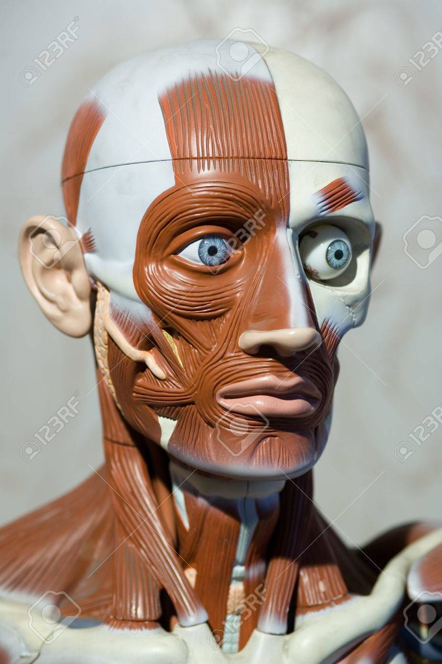 Human Anatomy Model Stock Photo Picture And Royalty Free Image