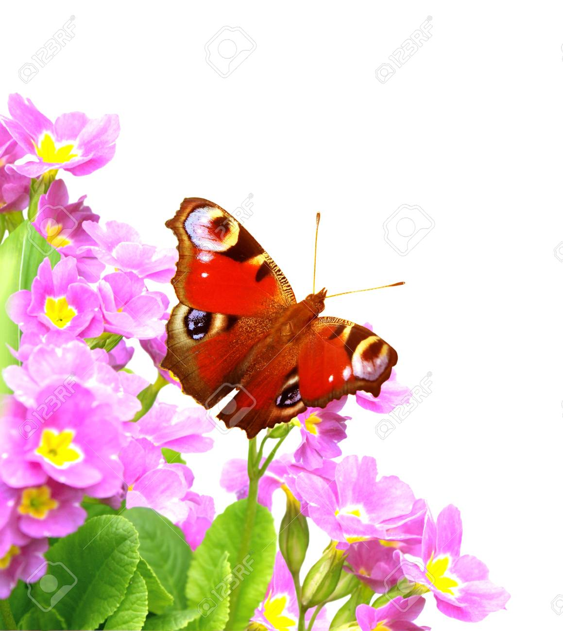 Butterfly on spring flowers of lilac color. Isolated over white Stock Photo - 17622490