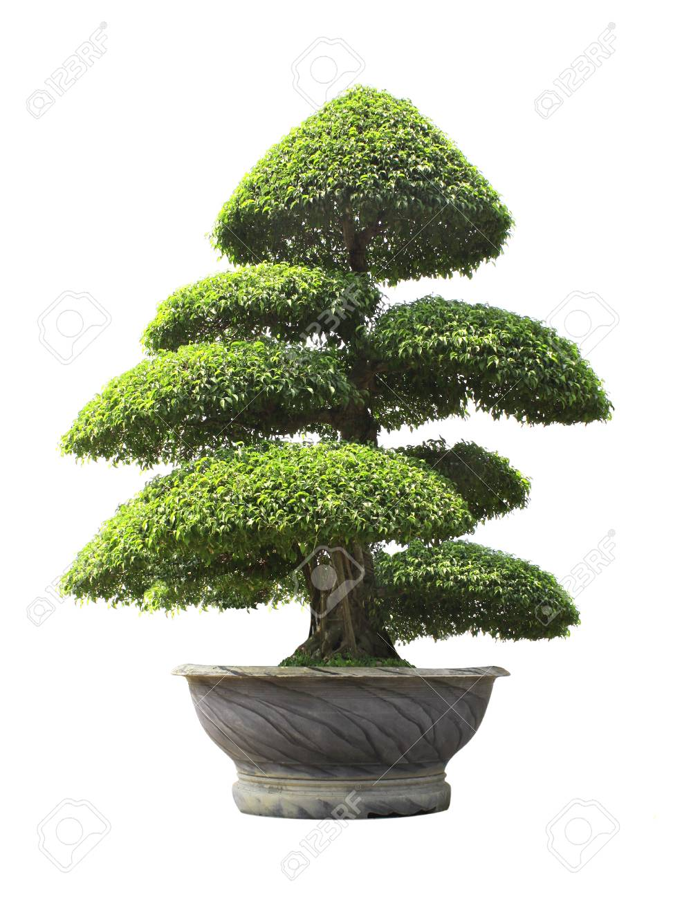 256 & Bonsai Ficus benjamina in stone flower pot. Isolated on white..