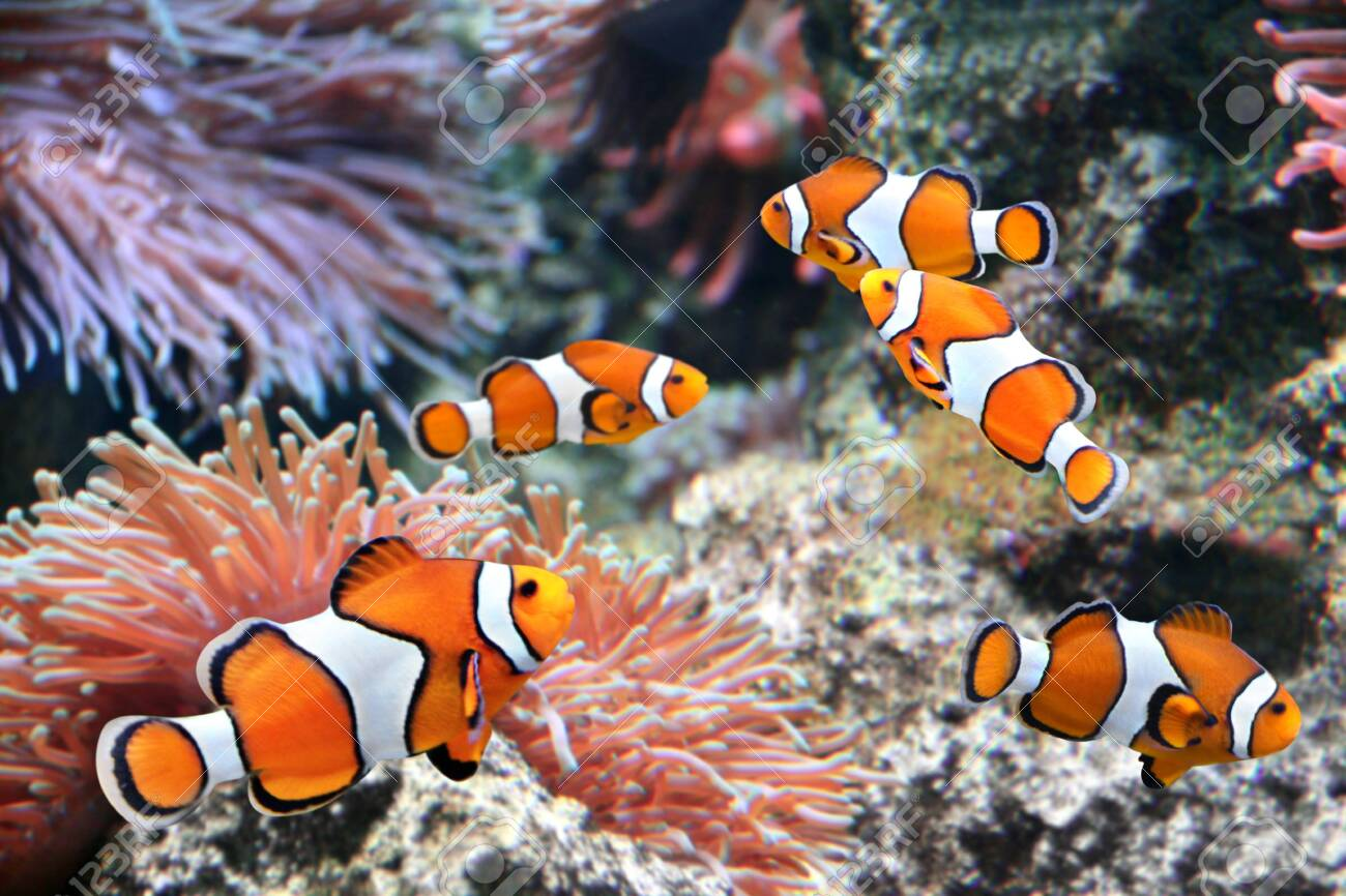 Tropical sea anemone and clown fish (Amphiprion percula) in marine aquarium - 134043528