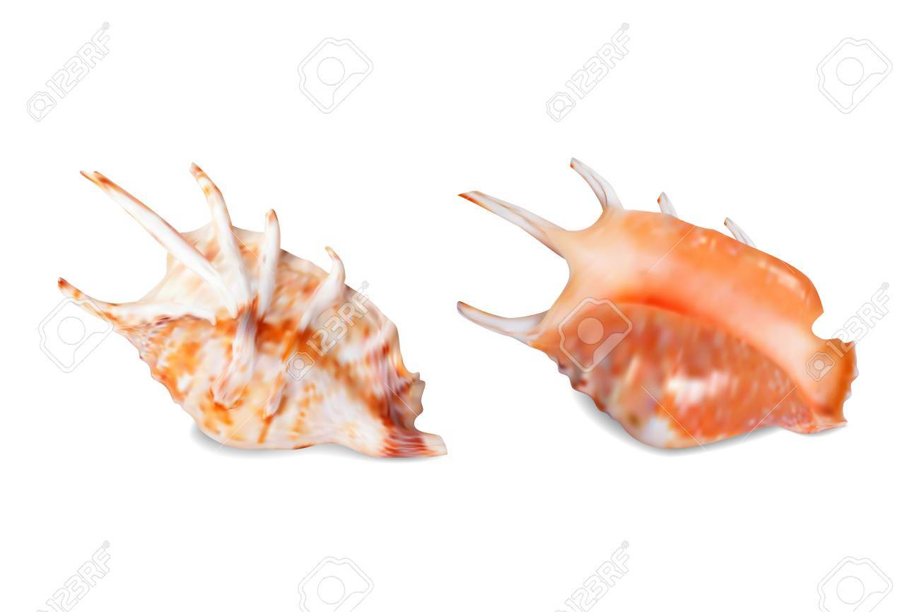 Seashell, isolated on white  Vector illustration Stock Vector - 27355313