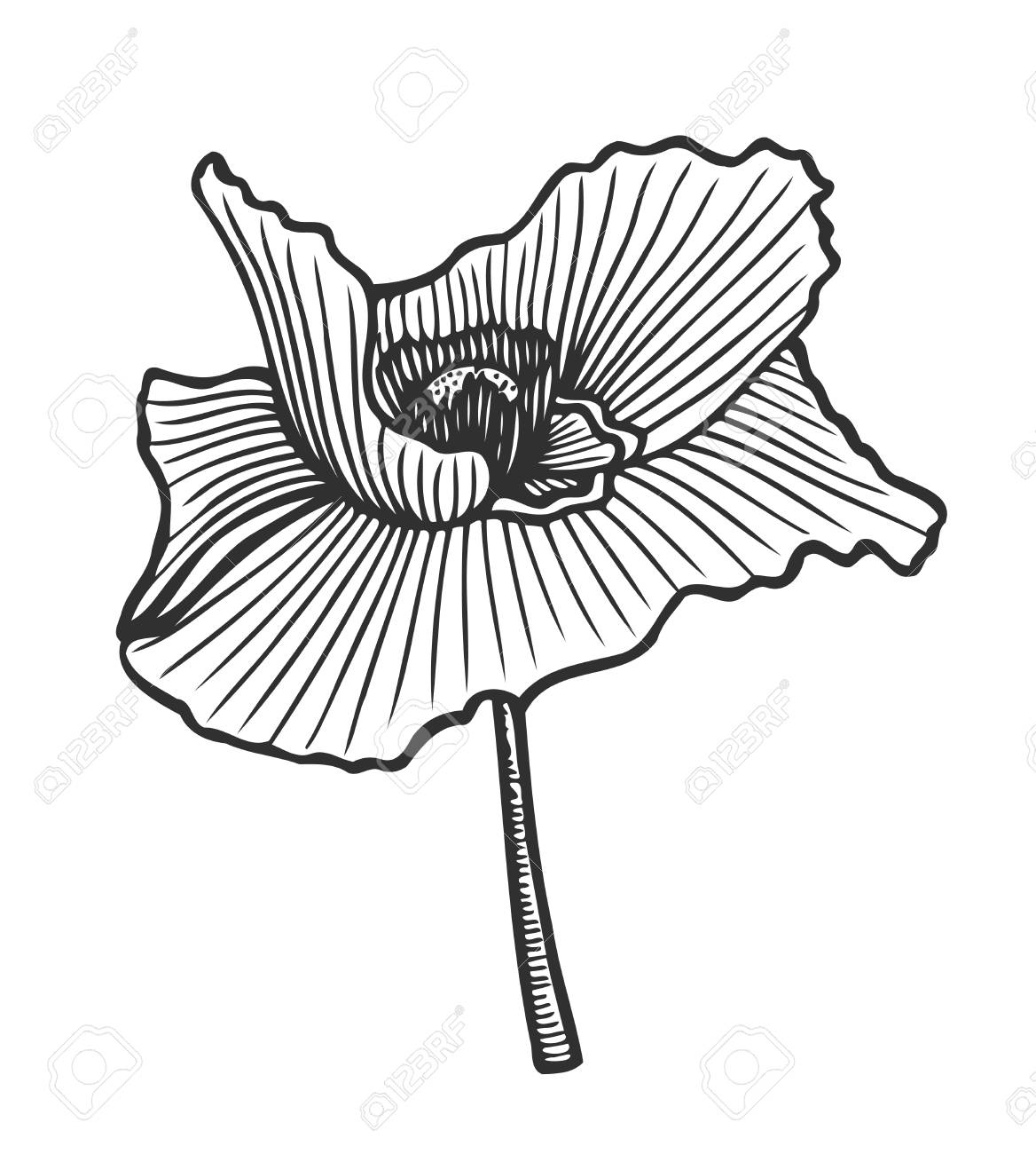 Hand drawn floral engraving poppy flower on white background. - 90693344