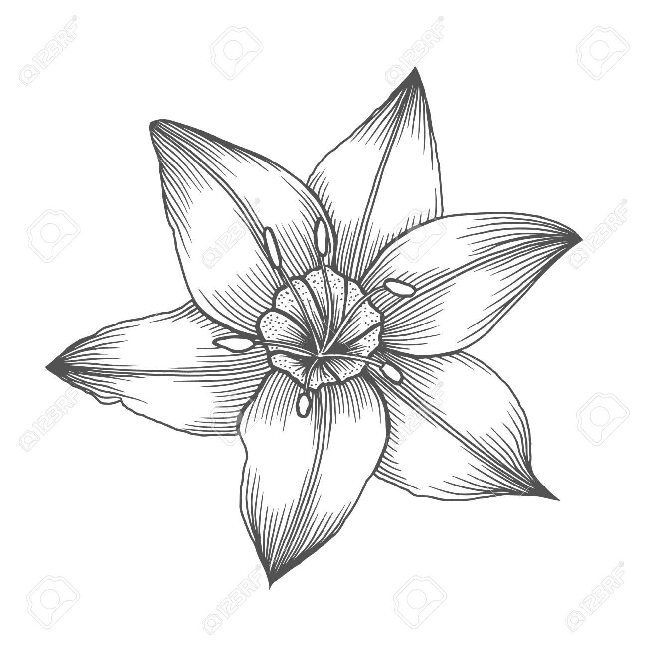 Flor De Lirio Patrón De Linea Ilustraciones Vectoriales Página De Libro Para Colorear Para Adultos Ame El Concepto De Bohemia Para La Tarjeta De