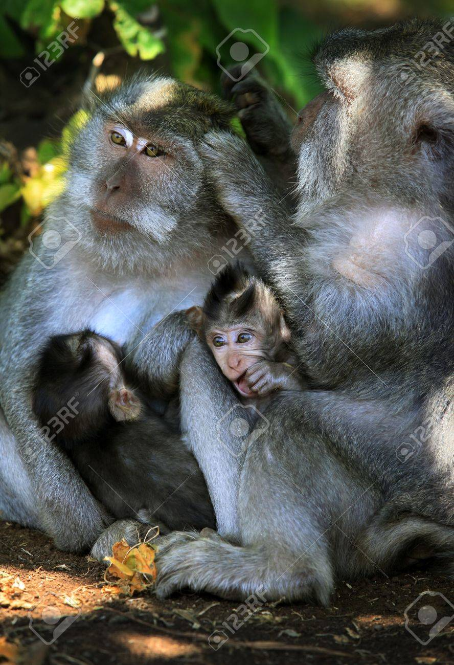 family of monkeys in pura luhur uluwatu temple bali indonesia