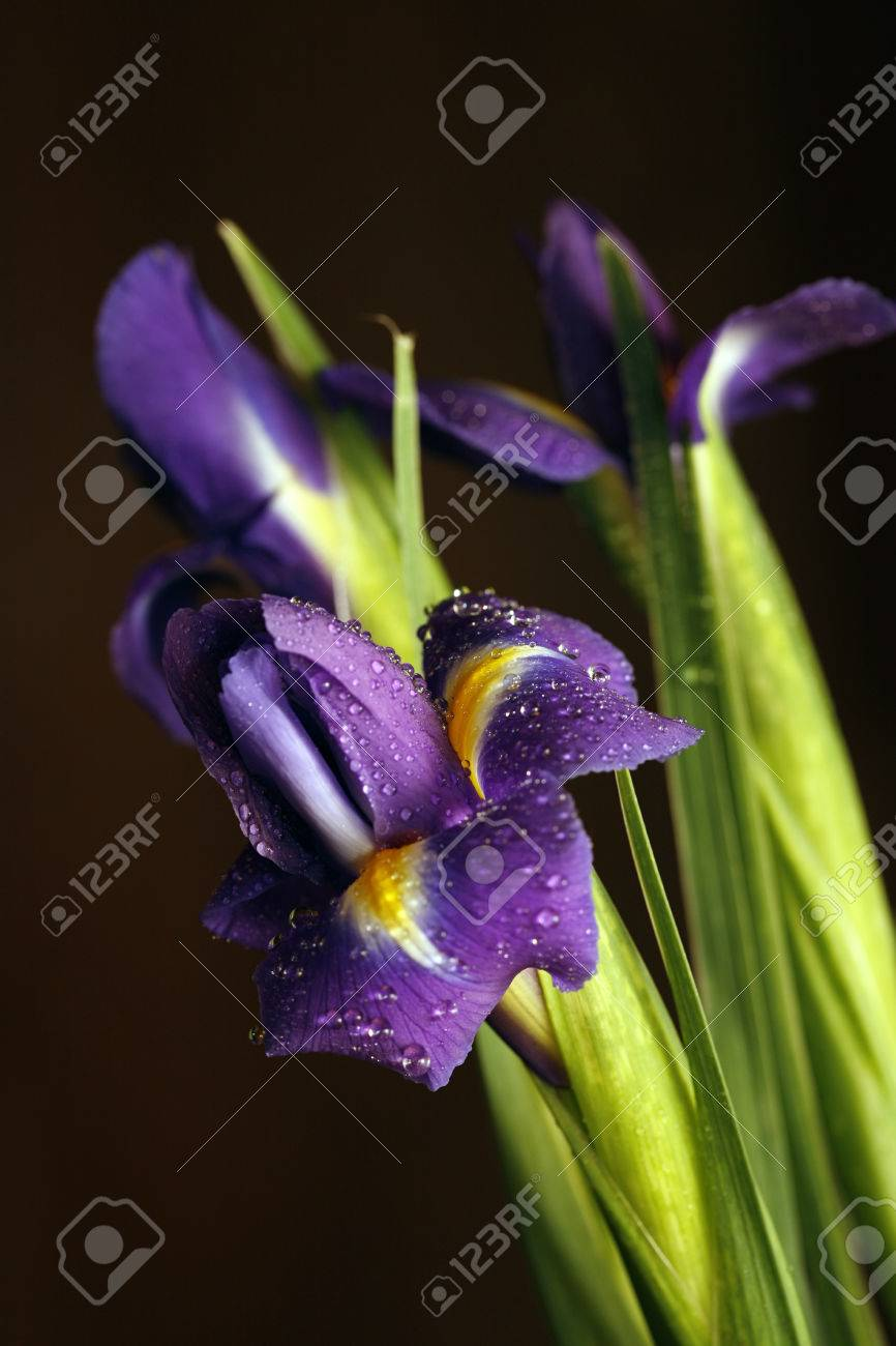Flower of an iris with drops on a dim background stock photo flower of an iris with drops on a dim background stock photo 45485750 izmirmasajfo