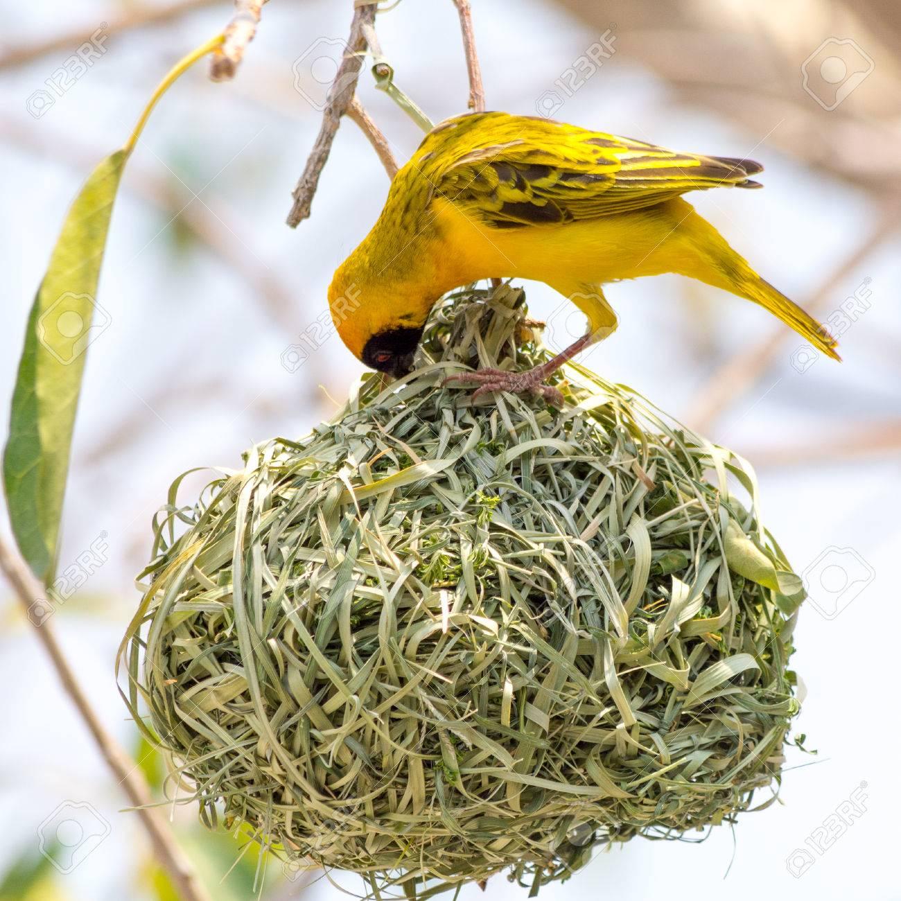 Yellow Masked Weaver Bird Building Nest Seen At Safari Tour