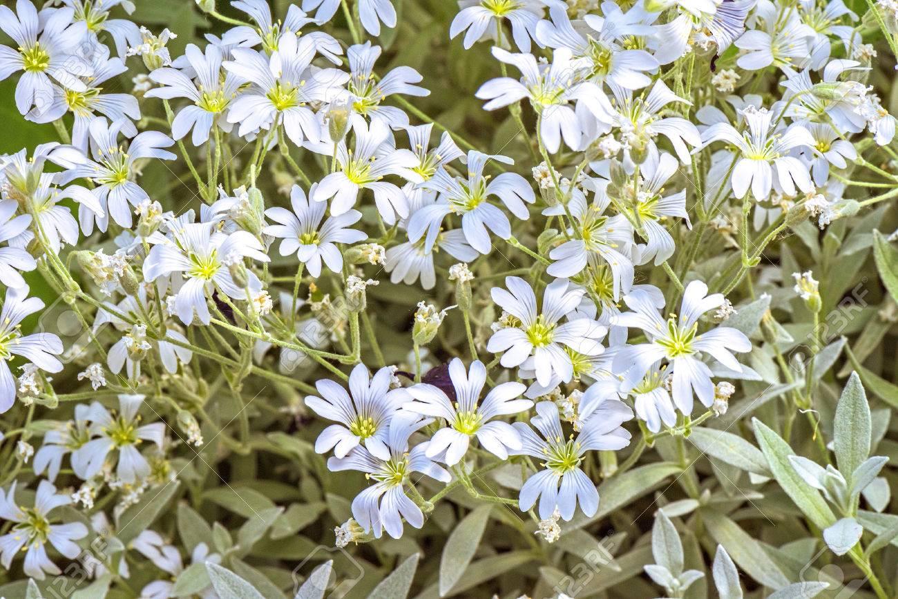 White Flowers Background Euphorbia Leucocephala Lotsy Close Stock